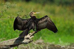 cormoranul