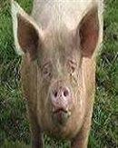 pigskinpicker
