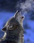 wolfeman3